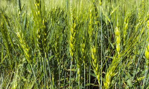 식물 줄기 높이에 영향을 미치는 지베렐린 시스템에 대한 연구가 이루어지기 이전에는 밀의 줄기가 너무 높게 자라거나, 줄기가 무거운 낟알을 지탱하지 못해 꺾어지는 등의 문제가 있었다.  CREDIT: wikimedia / Akshay.paramatmuni1987