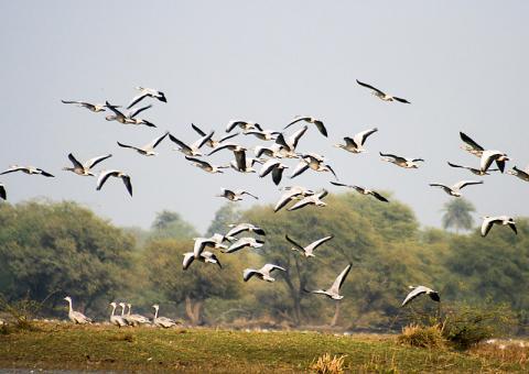공중을 날고 있는 인도기러기들. 인도 라자스탄 바라트푸어 지역.  CREDIT: Wikimedia / J.M.Garg