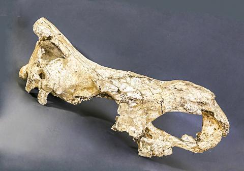 조지아 드마니시에서 발견된 고대 코뿔소인 스테파노리누스 두개골 화석.  CREDIT: Mirian Kiladze, Georgian National Museum