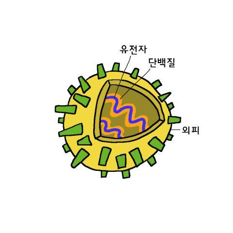 바이러스는 단백질 껍질 안에 유전자인 RNA나 DNA만이 들어 있는 아주 단순한 구조이다ⓒ윤상석