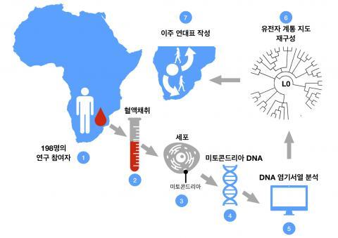 혈액 샘플로부터 L0 유전자 뿌리를 추적하는 과정. 남아프리카에 남아있는 L0 유전자 그룹 후손들은 인류 유전 역사 중 가장 오래된 부분을 갖고 있다. 많은 개인으로부터 획득한 미토콘드리아 DNA 염기서열을 통해 연구진은 L0 그룹의 하위계통 발생 연대표를 재구성했다. 유전자 계통 지도로부터 유전적 발산 시간을 추정하면 과거 이주들의 연대표를 재구성할 수 있다. CREDIT: IBS 기후물리 연구단 / Nature