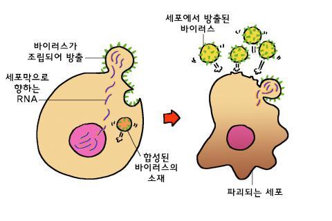 바이러스 복제 과정3-복제된 유전자의 유전 정보를 이용하여 바이러스 단백질 껍질을 합성한다. 바이러스 복제 과정4-새로운 바이러스들이 만들어져 세포 밖으로 방출되고, 숙주세포는 파괴된다. ⓒ윤상석