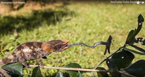 도마뱀이 혀를 길게 늘여 메뚜기를 잡는 모습. 혀가 길게 늘어나는 것은 혀 근육에 탄성에너지가 있기 때문이다. 동영상 캡처.  Credit: Youtube / Yulia Sundukova