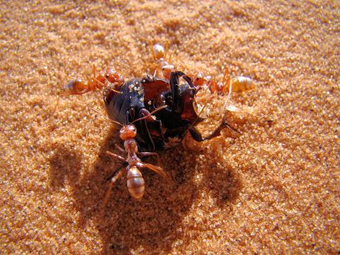 사하라 사막 땡볕에 살고 있는 '사하라 은색 개미(Saharan silver ants)'가 세계에서 가장 빠른 개미인 것으로 밝혀졌다. 시속 193km에 달했다. ⓒWikipedia