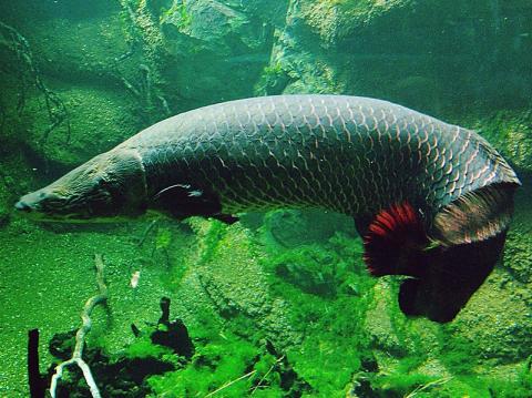 날카로운 이빨을 가진 피라니아 떼가 덤벼들어도 아라파이마의 비늘은 결코 찢어지거나 부서지지 않을 만큼 단단한 구조로 되어 있다.  © flickr.com(Thiago Santos)