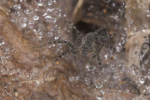 잔디늑대거미의 거미줄이 오랜 시간 부식되지 않는 원인이 과학자들에 의해 밝혀지면서 특수 소재 개발에 도움을 줄 것으로 기대되고 있다. ⓒWikipedia