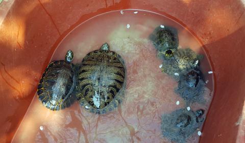 애완용으로 수입됐다가 버려진 붉은귀거북이가 토종 물고기의 씨를 말리고 있다. 사진은 경남 창원시의 도심 공원에서 포획된 붉은귀거북. ⓒ 연합뉴스