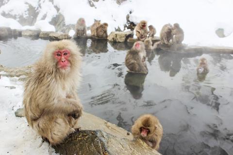 서열이 낮은 원숭이들은 괴롭힘을 당하는 수가 많고, 이번 연구에서는 이런 괴롭힘이 특히 면역 유전자에 영향을 미치는 것으로 나타났다. 사진은 일본 원숭이 무리. Credit: Pixabay