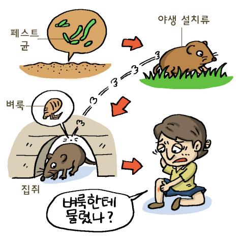 페스트균은 쥐에 기생하는 벼룩을 통해 인간에게 전염된다.ⓒ윤상석