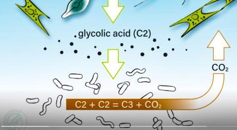 바다에서 가장 중요한 화합물 중 하나로, 광합성의 직접 부산물인 글리콜산(glycolic acid)은 해양 박테리아에 의해 분해돼 일부가 이산화탄소로 되돌려진다.  동영상 캡처. CREDIT: Max Planck Institute for terrestrial Microbiology