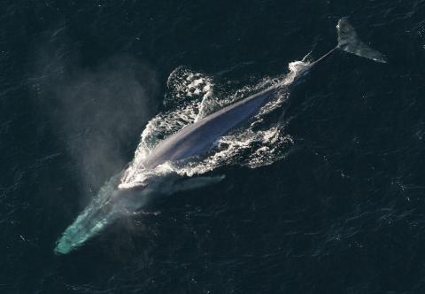 과학자들이 세계에서 가장 큰 동물인 대왕고래의 맥박수를 측정하는데 성공했다. 향후 거대 동물 생리작용을 연구하는데 기폭제가 될 것으로 예상된다. ⓒWikipedia