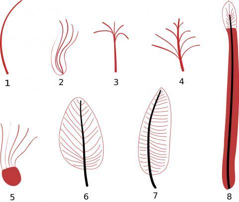 깃털 진화 단계를 보여주는 도해(요약 Xu & Gou 2009). 1.Single filament 2.Multiple filaments 3.oined at their base 4.Multiple filaments joined at their base to a central filament 5.Multiple filaments along the length of a central filament 6.Multiple filaments arising from the edge of a membranous structure 7.Pennaceous feather with vane of barbs and barbules and central rachis Pennaceous feather with an asymmetrical rachis 8. Undifferentiated vane with central rachis