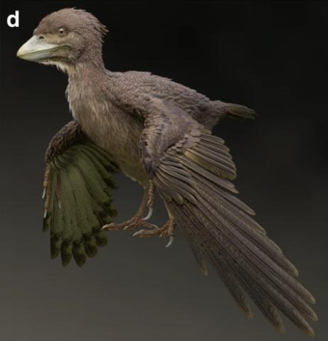 일본에서 발견한 1억2000만 년 전 새의 화석. 연구진은 지금의 닭과 닮은 모습을 하고 있으며, 1억 5000만 년 전의 시조새와 매우 다른 모습을 지니고 있어 진화 연구에 혼란이 발생하고 있다고 밝혔다. ⓒFukui Prefectural University(by M. Yoshida)