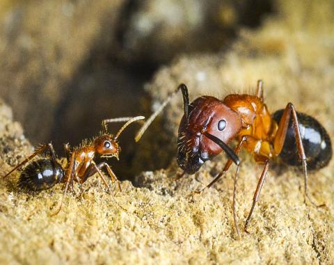 마이너 일개미(왼쪽)와 메이저 병정개미(오른쪽) 모습. 메이저 개미들은 먹이 구하는 일을 거의 하지 않고 공격자로부터 둥지를 지키는 일을 하는 반면, 일개미들은 먹이 수집에 힘을 쏟는다.  CREDIT: Riley Graham