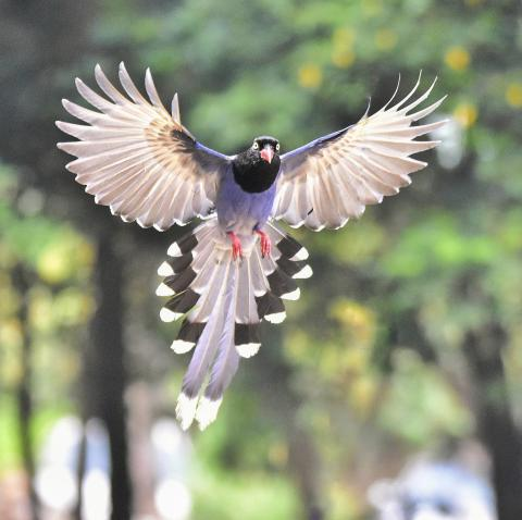 대만의 푸른 까치(blue magpie)가 날개를 펴고 날고 있는 모습.  CREDIT: Shao Huan Lang