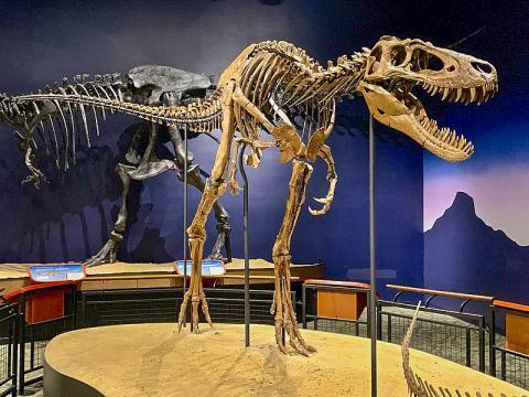 미국 일리노이 버피 자연사박물관에 전시된 11살 된 티라노사우르스 뼈를 복원한 모습. 티라노사우르스 종류는 다른 공룡들과는 달리 큰 먹이감을 사냥할 수 있도록 턱과 이빨이 진화된 것으로 연구팀은 보고 있다.  CREDIT: Wikimedia / Zissoudisctrucker
