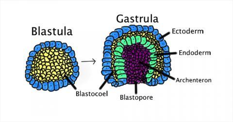 장배 형성은 배아에서 한 층으로 된 포배(blastula)가 안쪽을 접히고 확대돼 장배(gastrula)가 만들어지는 것을 말한다. 장배 형성은 사람의 경우 초기 배아 3주째 일어나며 내배엽, 중배엽, 외배엽이 형성된다.  CREDIT: Wikimedia / Abigail Pyne
