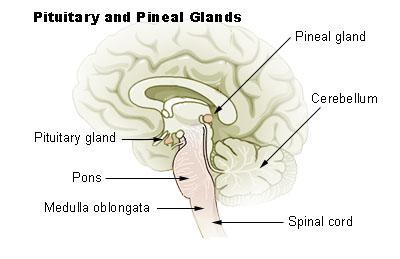 뇌하수체 ⓒ 위키백과