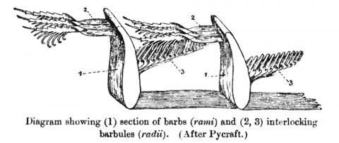 작은 깃가지가 서로 물려서 연결되는 모습을 나타낸 미세 그림.  CREDIT: Wikimedia / W R Ogilvie Grant