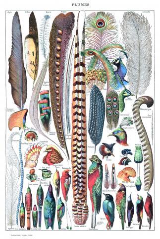 다양한 모습의 새 깃털.  CREDIT: Wikimedia / Adolphe Millot