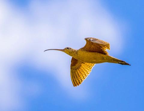철새들은 번식하고 살기 좋은 기후를 찾아 떠나도록 진화해 왔다. 그러나 급격한 기후 변화는 먹이 번식 타이밍 등이 맞지 않아 철새들에게 부정적인 영향을 줄 수 있다는 연구가 나왔다. 사진은 하늘을 날고 있는 긴 부리 마도요.  CREDIT: Nick Saunders
