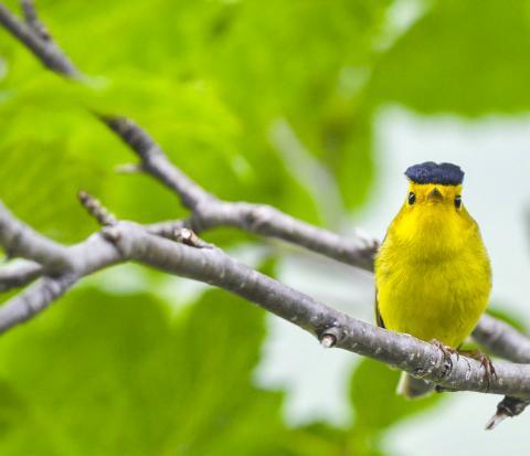 이번 연구는 대륙 규모에서 기후 변화가 철새 이동에 미치는 영향을 조사한 최초 연구 중 하나다. 사진은 윌슨 휘파람새 모습.  CREDIT: Kyle Horton/Colorado State University
