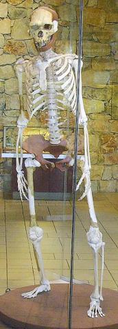 복원한 호모에렉투스의 모습(프랑스 토타벨 박물관) Credit: Wikimedia /Gerbil