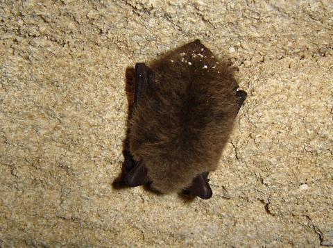 동굴에서 동면 중인 윗수염박쥐. 과학자들의 동면 중인 포유류의 유전자 메커니즘을 활용해 비만으로 인한 난치병 치료법을 개발 중이다. ⓒWikipedia