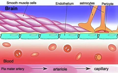 뇌 내부의 혈관 구성을 보여주는 스케치. 혈액-뇌장벽으로 인해 혈관의 피가 직접 뇌조직으로 주입되지 않는다. 이번 연구에서는 이 장벽이 손상돼 뇌 안에 이물질이 생김으로써 뇌의 노화 현상을 일으킨다고 보고했다.  Credit: Wikimedia/ Armin Kübelbeck