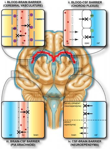뇌의 보호 장벽. '혈액-뇌장벽'은 중추신경계와 주변부 사이의 4가지 주요 인터페이스를 포함한다. CREDIT: Wikimedia / Stolp HB, Liddelow SA, Sá-Pereira I, Dziegielewska KM and Saunders NR