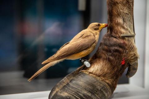 사진은 소와 같은 큰 동물 위에서 피를 빨아먹고 사는 찐드기를 잡아먹는 아프리카산 찌르레기과의 소등쪼기새. 찐드기와 함께 피를 먹고 살기 때문에 흡혈동물로 분류되고 있다. ⓒRoyal Ontario Museum