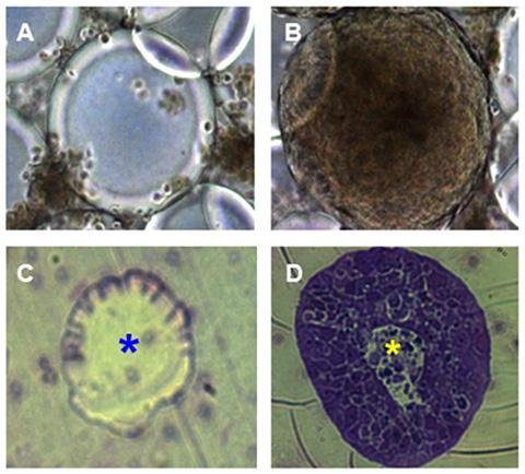 (A, C) HT-29.cl19a 장 상피세포를 RWV에서 배양한 첫날 모습, (B, D) 실험 11~18일째 모습. © UC Riverside