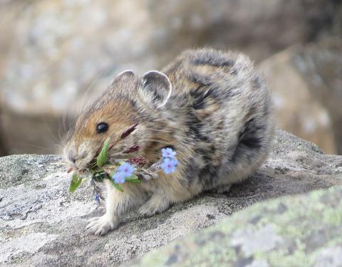 고산지역에 살던 작고 귀여운 외모의 새앙토끼가 고온건조한 기후가 이어지면서 서식지에서 모두 사라지며 멸종사태를 맞고 있다. ⓒWikipedia