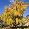 노랗게 물 든 가을 은행나무