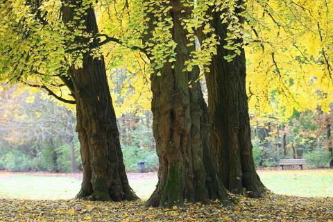 벨기에 공원의 은행나무 ⓒ 위키피디아