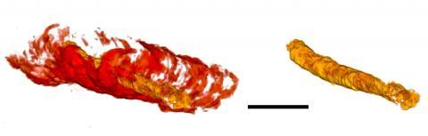 5억5000만년 된 관 모양 화석(왼쪽의 빨간색)의 내부 소화관(금색)을 3차원 이미지로 분석한 모습.  CREDIT: University of Missouri