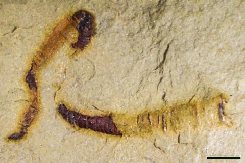 미국 네바다주 파럼프 부근 몽고메리 산맥에서 발견한 화석화된 클라우디나 모양체. 이번 연구에서 분석한 대표 화석.  CREDIT: University of Missouri