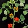 원광대 연구팀이 개발한 포도송이형 토마토