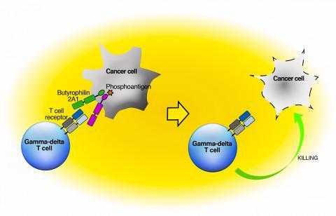 감마-델타 T세포가 감염원과 암을 탐지하는 방법을 묘사한 그림 Credit: Adam Uldrich