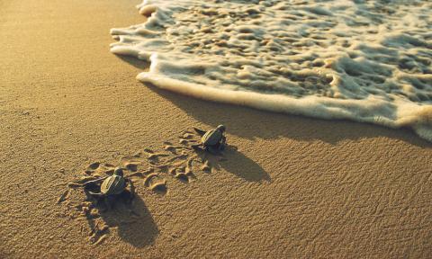 해수온도가 상승하면서 장수거북이 온도가 낮은 산란지를 찾기 위해 필사적인 여행을 하고 있다는 연구 결과가 발표됐다. 사진은 장수거북 알에서 부화한 새끼들. ⓒworldwildlife.org