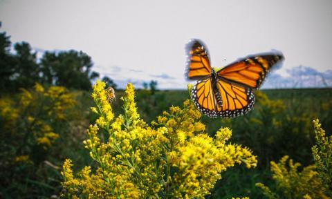 온도 상승으로 월동할 지역을 찾지 못한 모나크 나비가 지난 20년 간 95% 멸종했다는 연구 결과가 발표됐다. 5%의 불과한 나비들 역시 그 개체수가 급격히 줄어들고 있는 중이다. ⓒworldwildlife.org