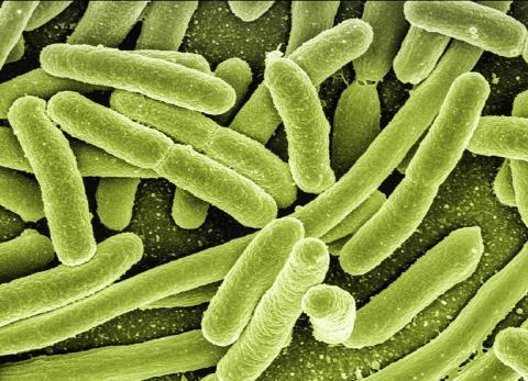사람을 비롯한 온혈동물의 대장에 주로 서식하는 박테리아. 전염성 설사를 비롯해 방광염, 복막염, 패혈증 등 경우에 따라 치명적인 질병을 일으키기도 한다.  Credit: Pixabay